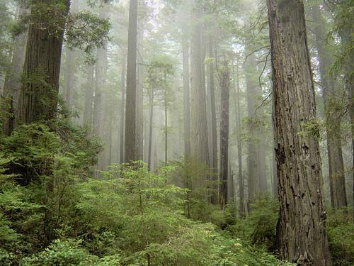 tn_redwoods.jpg